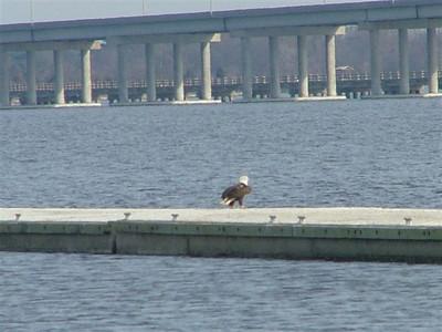 Bald Eagle on floating docks, Cambridge, Md.